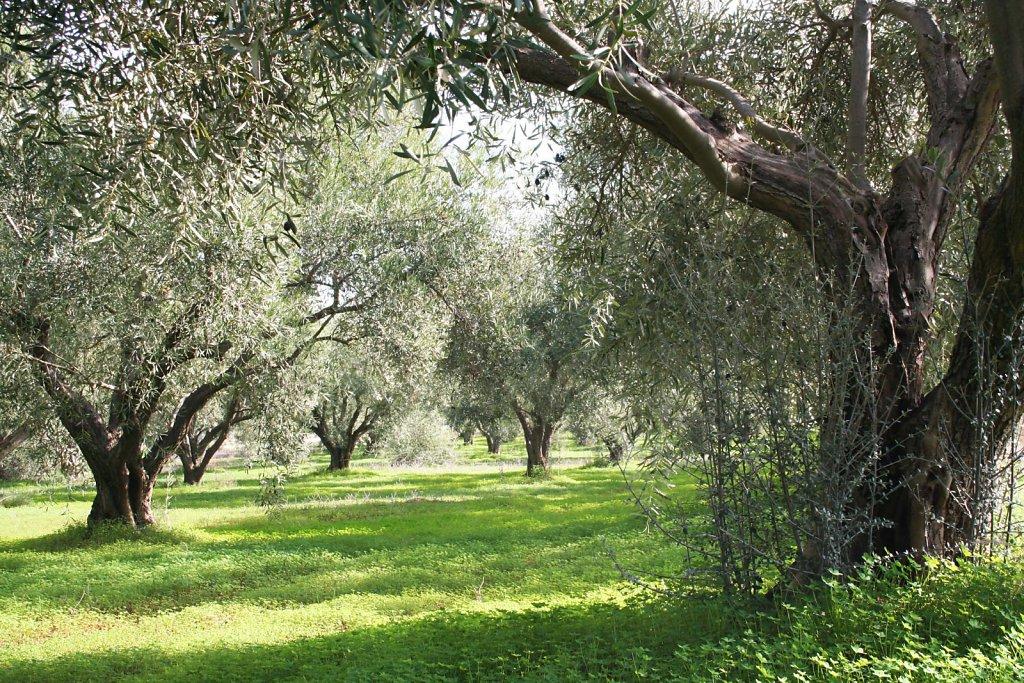 geliebter Olivenhain